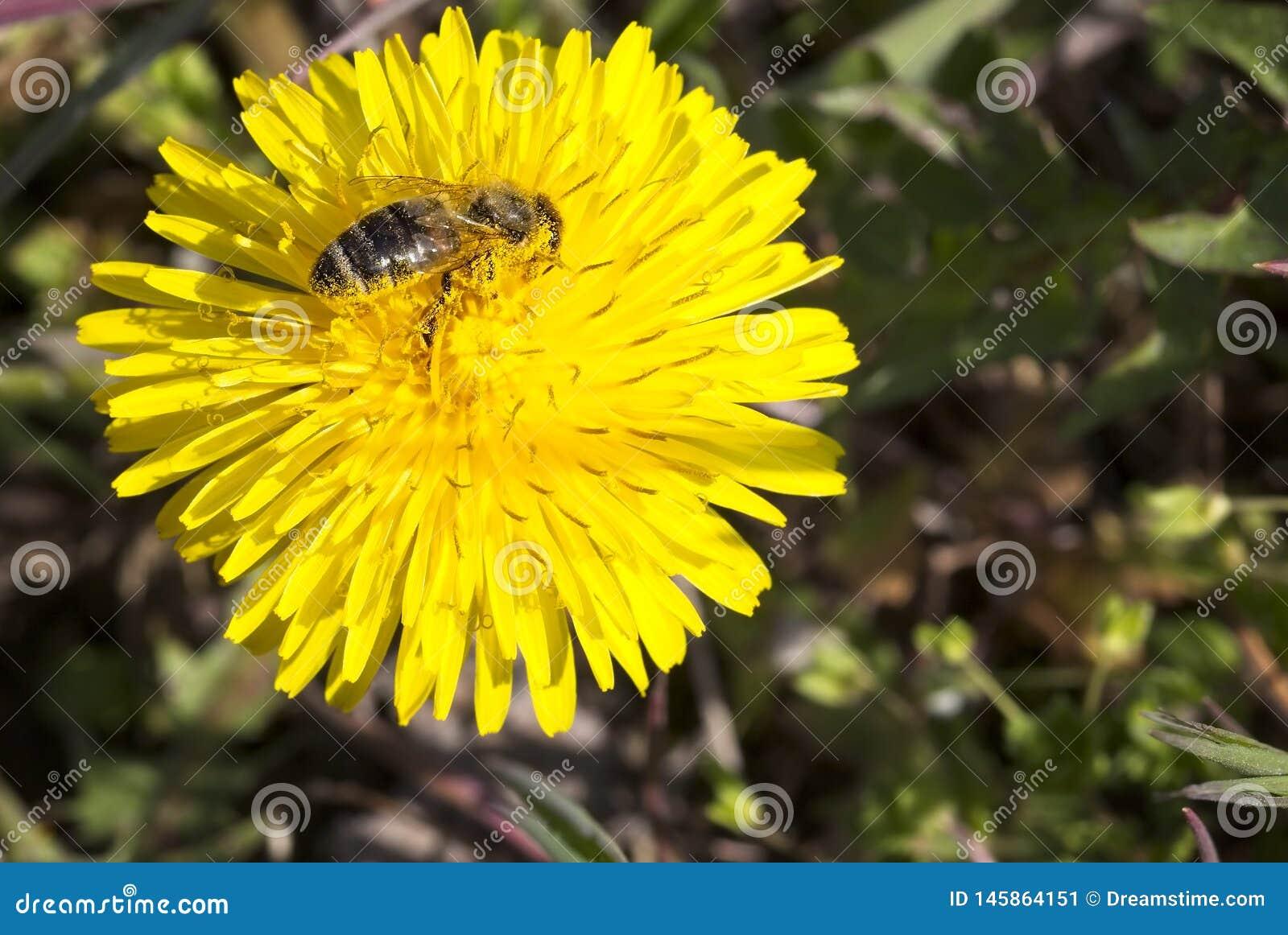 Pszczoła zapyla na dandelion