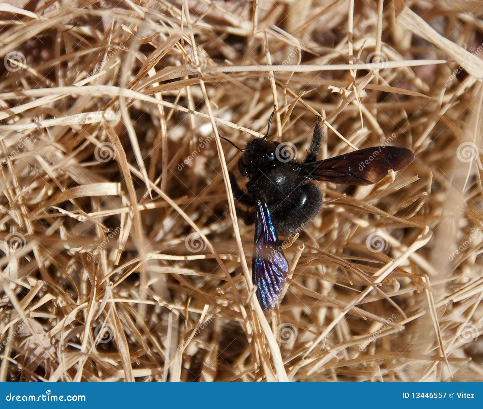 Pszczoły cieśli siano