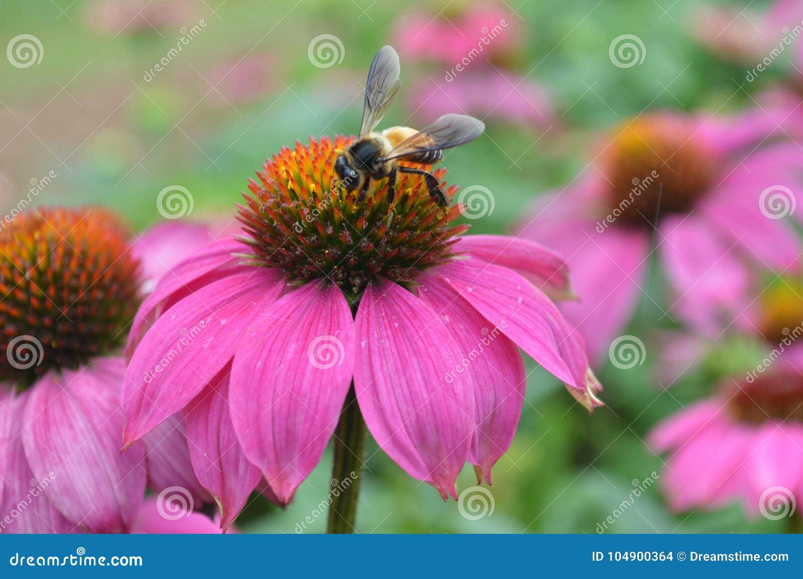 Pszczoły i pollen