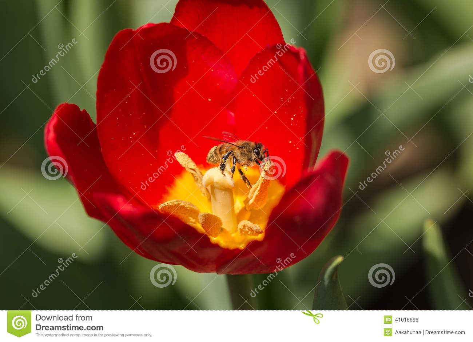 Pszczoły i tulipany