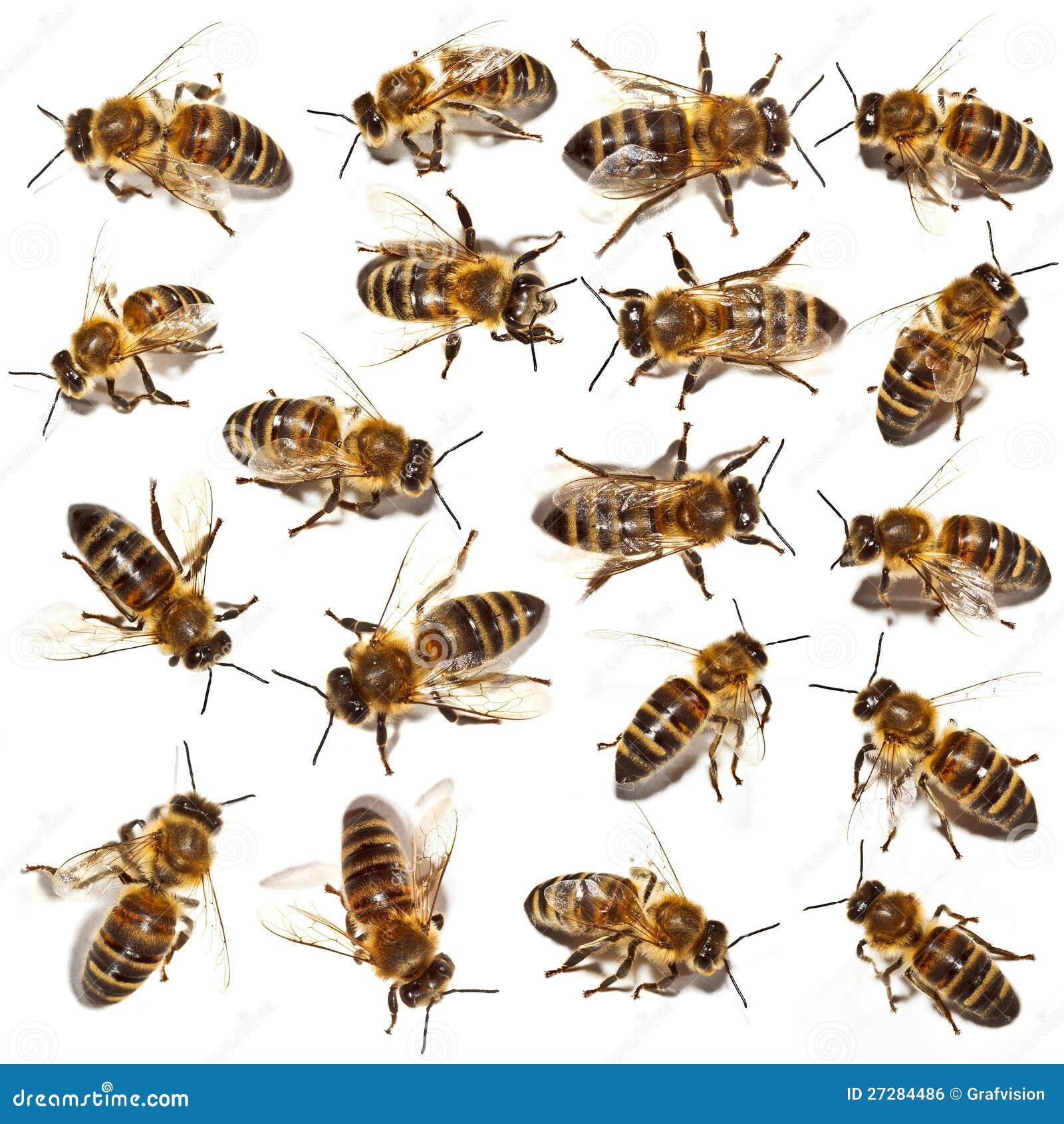 Pszczoły inkasowe