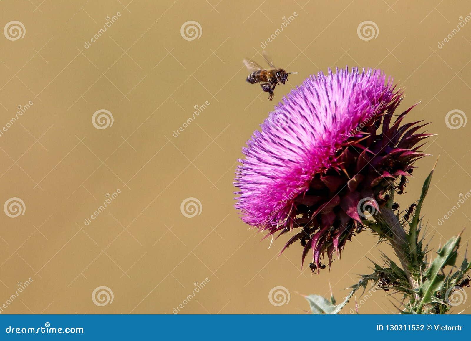 Pszczoły lądowanie na fiołkowym kwiacie