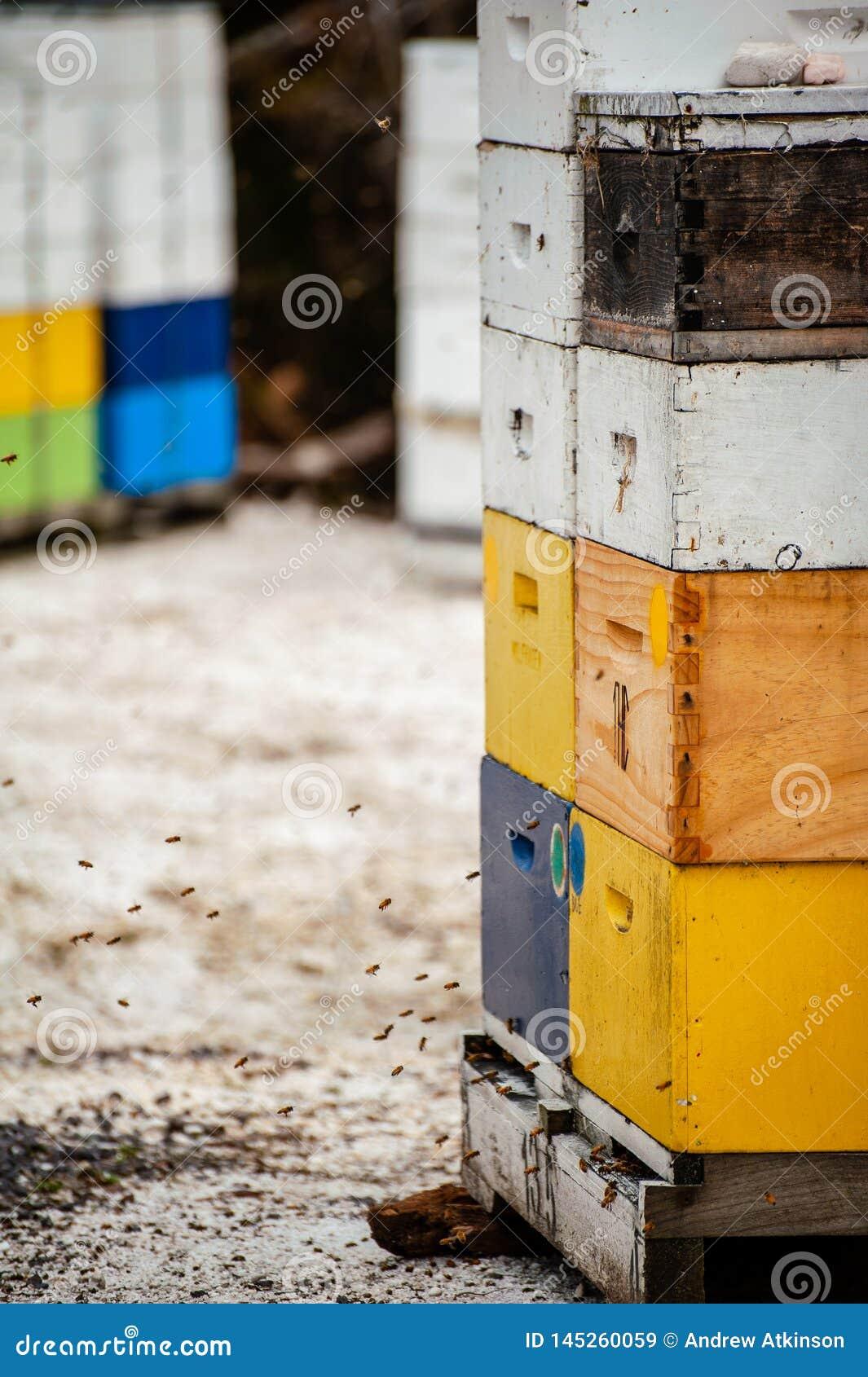 Pszczoły lata wokoło kolorowych uli produkujący miód