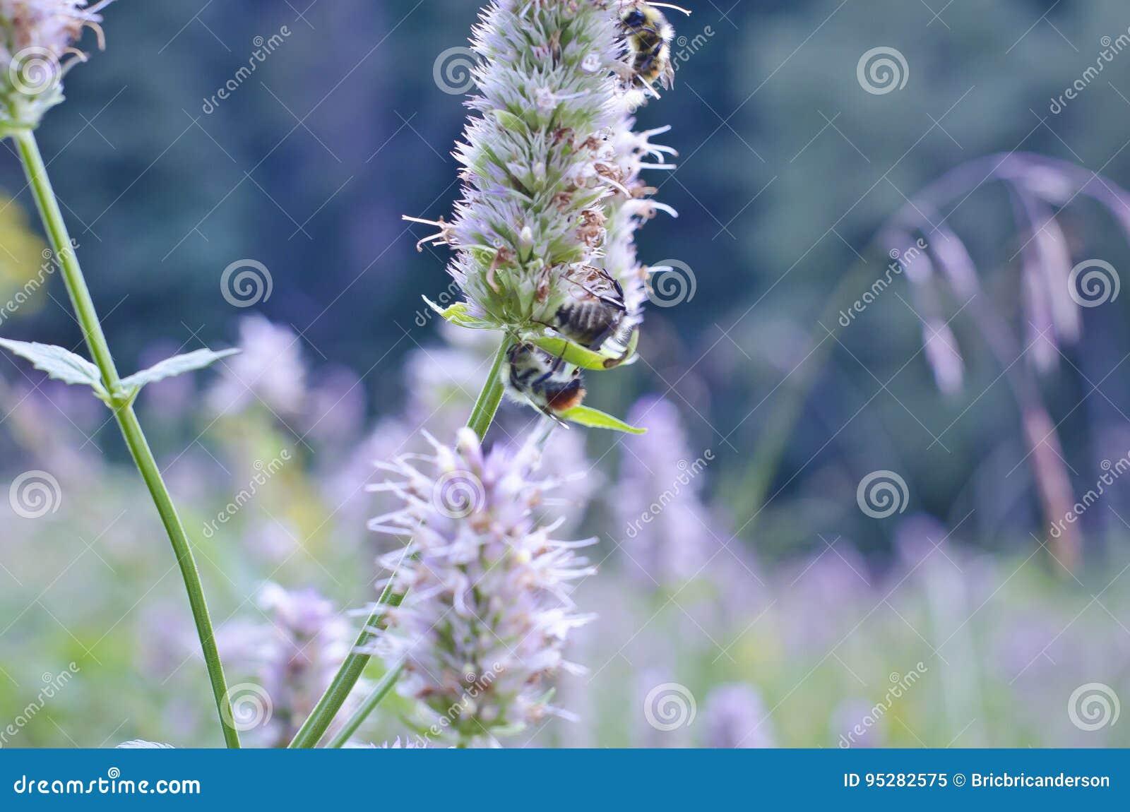 Pszczoły na świrzepie