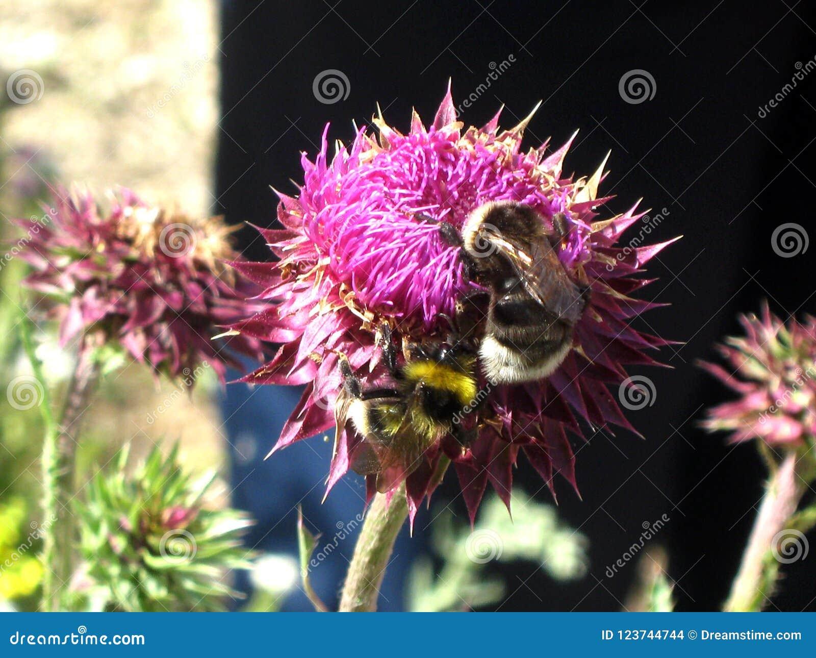 Pszczoły na koniczynowym kwiacie