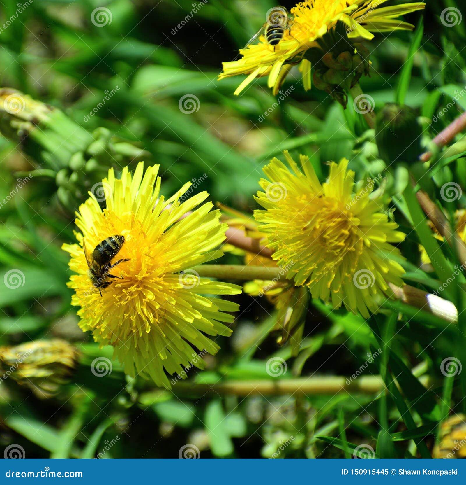 Pszczoły pracuje ciężkiego wczesne lato