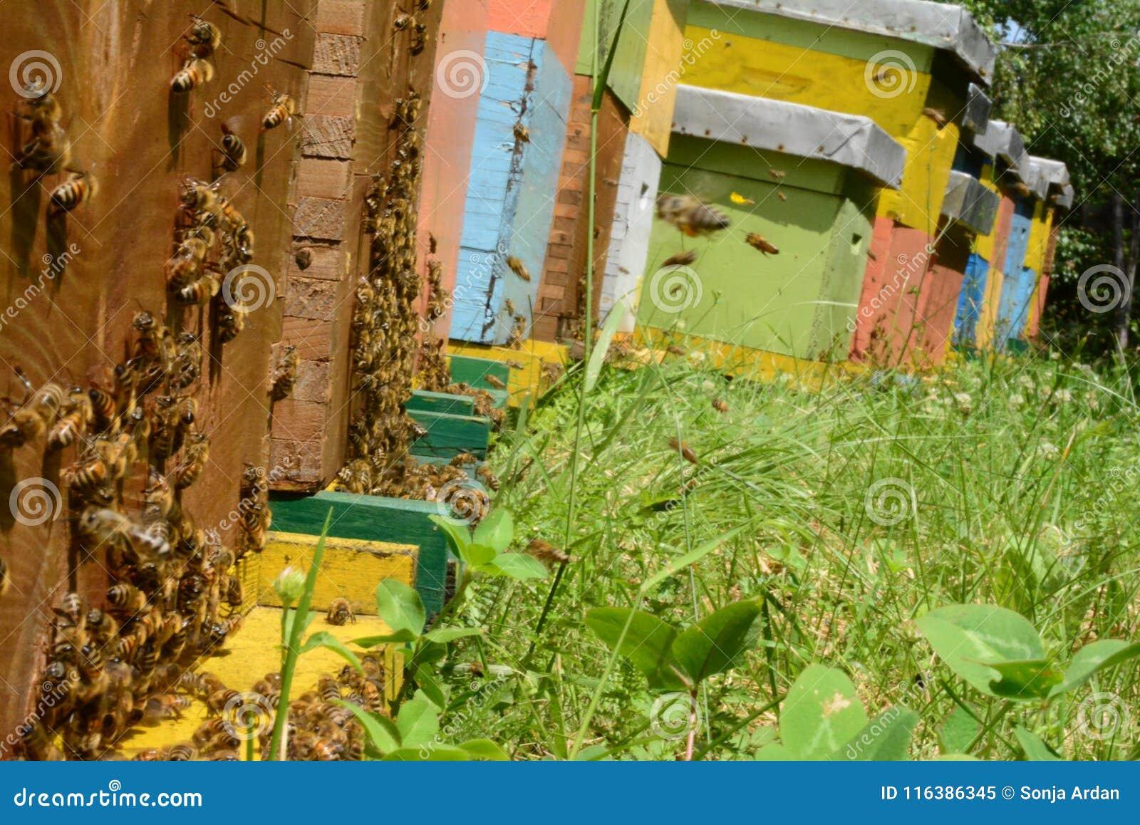 Pszczoły przynoszą pollen w rój