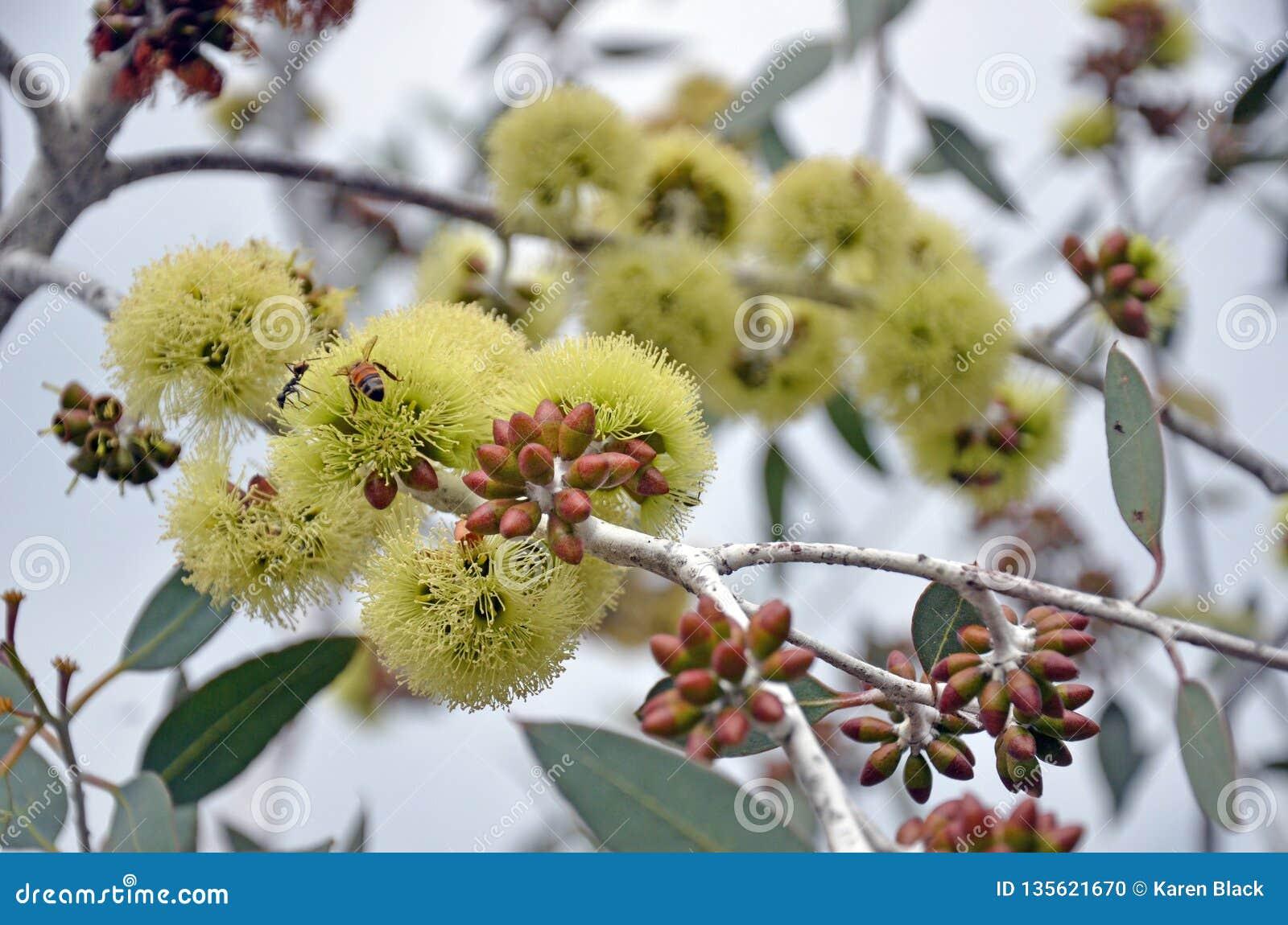 Pszczoły zapyla Eukaliptusowych desmondensis kwiaty