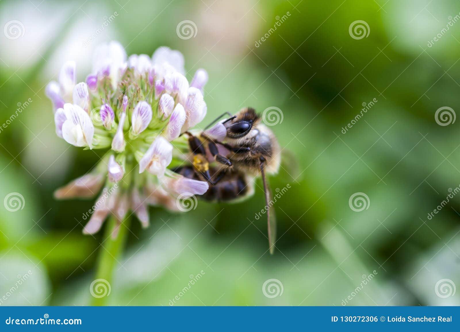 Pszczoły zbieracki pollen na koniczynowym kwiacie