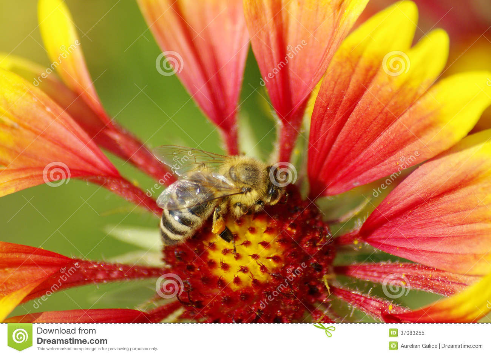 Download Pszczoła Na Czerwonym Kwiacie Obraz Stock - Obraz złożonej z sezon, insekt: 37083255