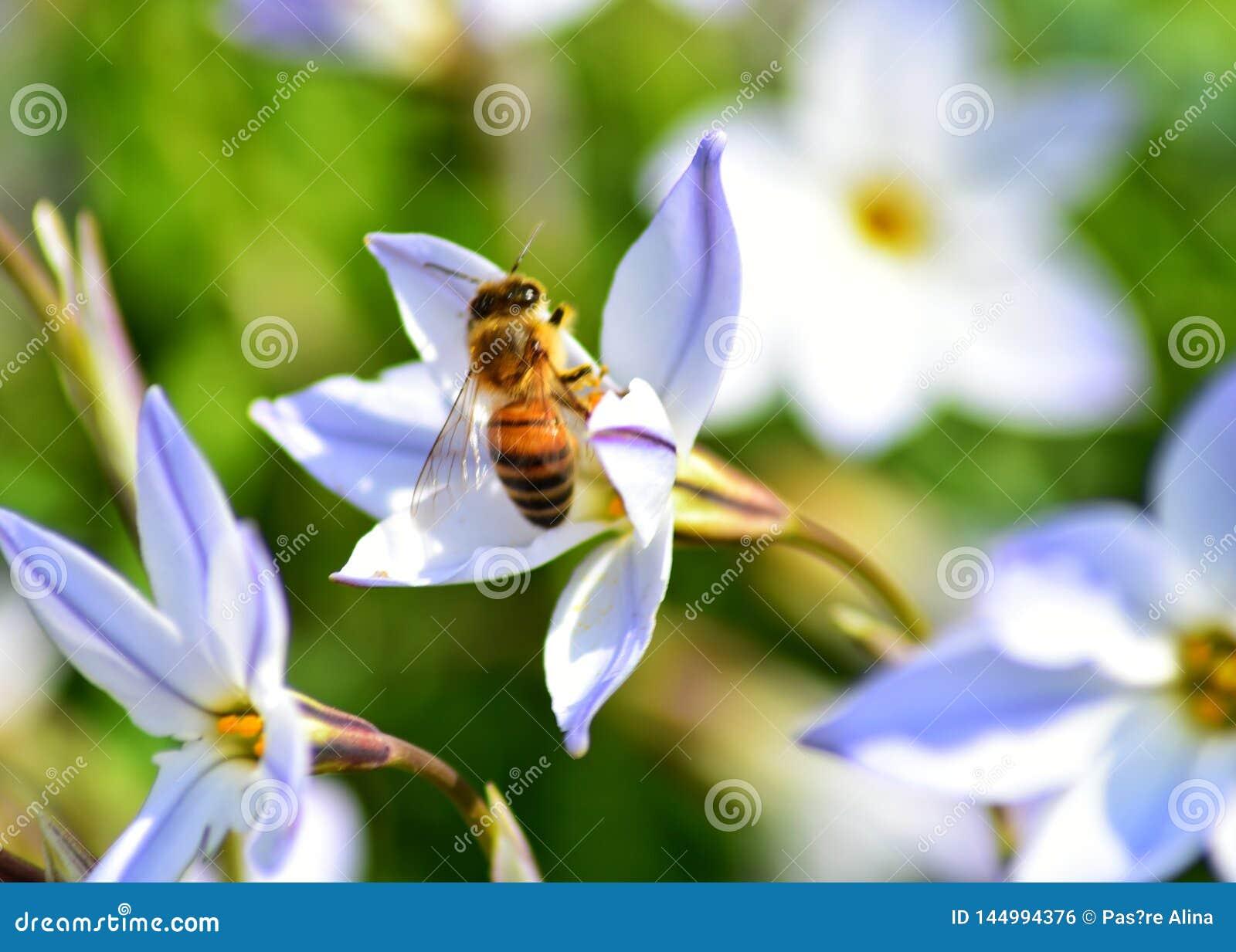 Pszczo?a na kwiacie