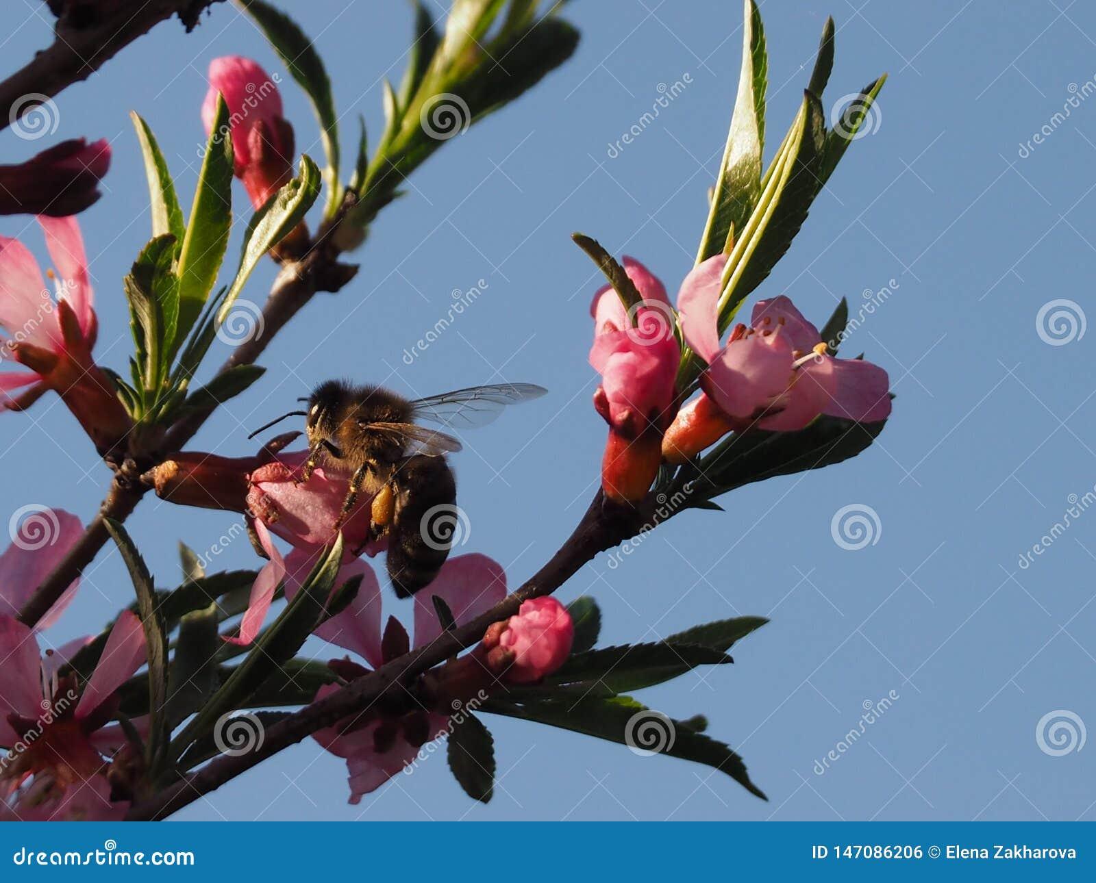 Pszczo?a na r??owym krzaka kwiatu migdale