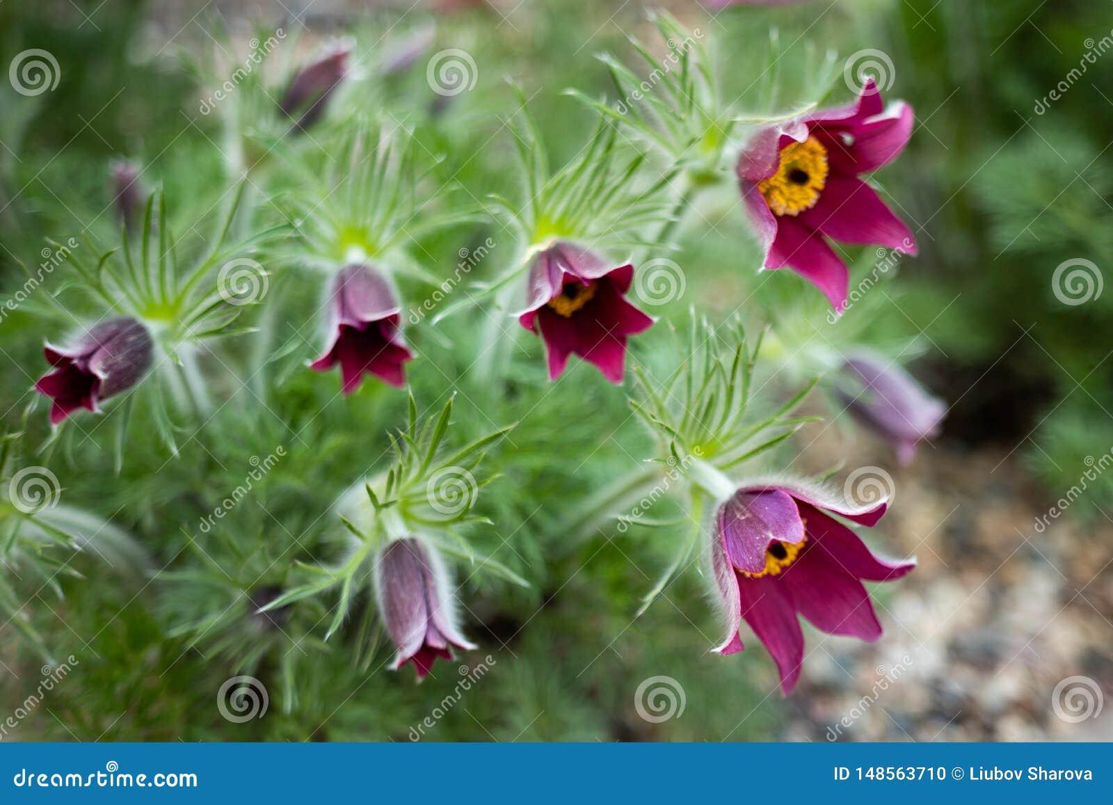 Pszczo?a siedzi na anemonowym kwiacie w pogodnej wio?nie lasowy Pasque lub anemon r dzikiego i sw?j kwitnienie jest jeden pierwsz