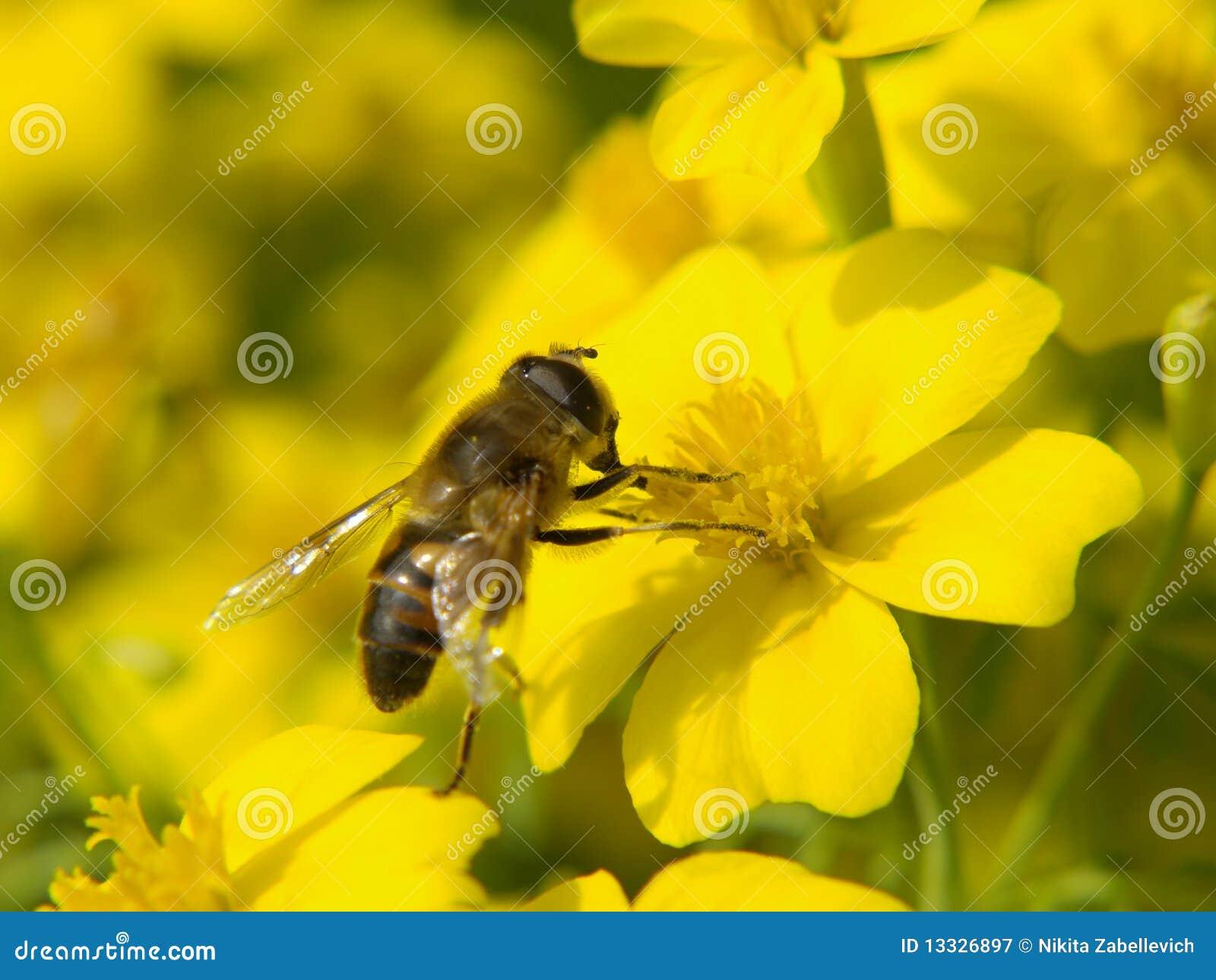 Pszczoły kwiatu miód