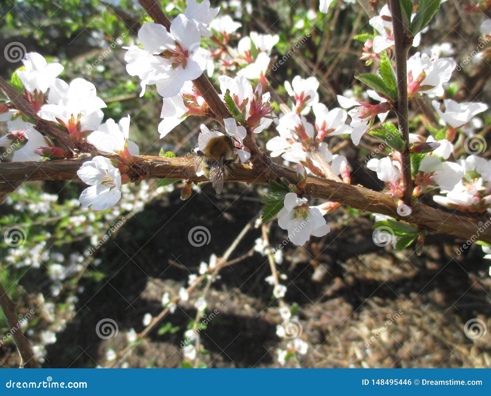 Pszczo?y obsiadanie na kwiacie