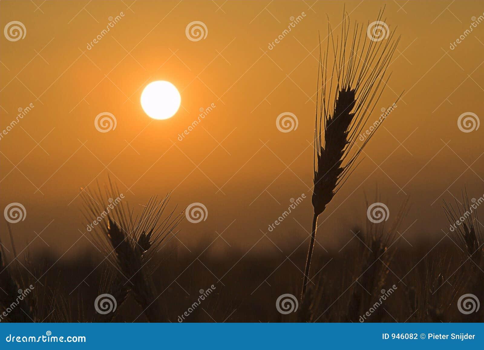 Pszenica, zachód słońca