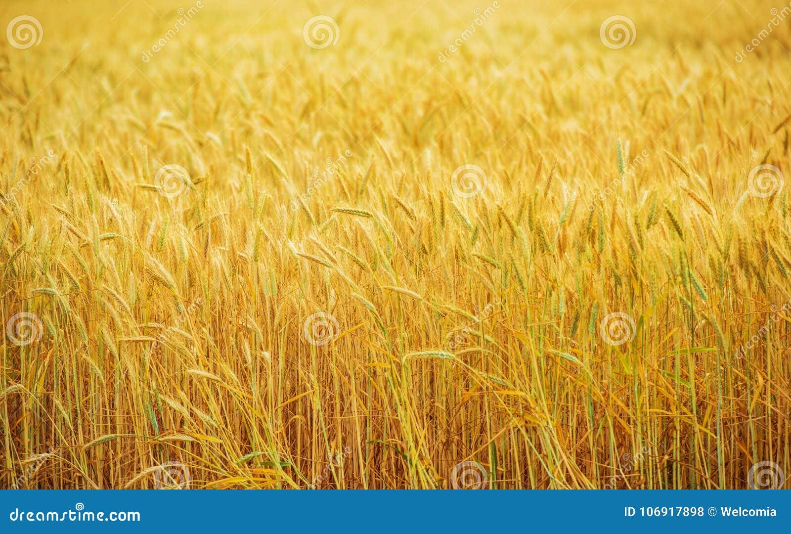 Pszenicznego pola ziemia uprawna