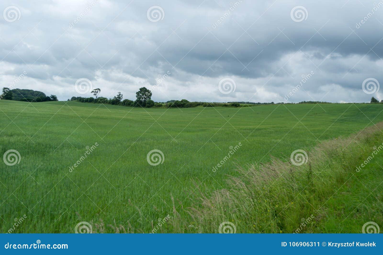 Pszeniczny pole na chmurzącym dniu