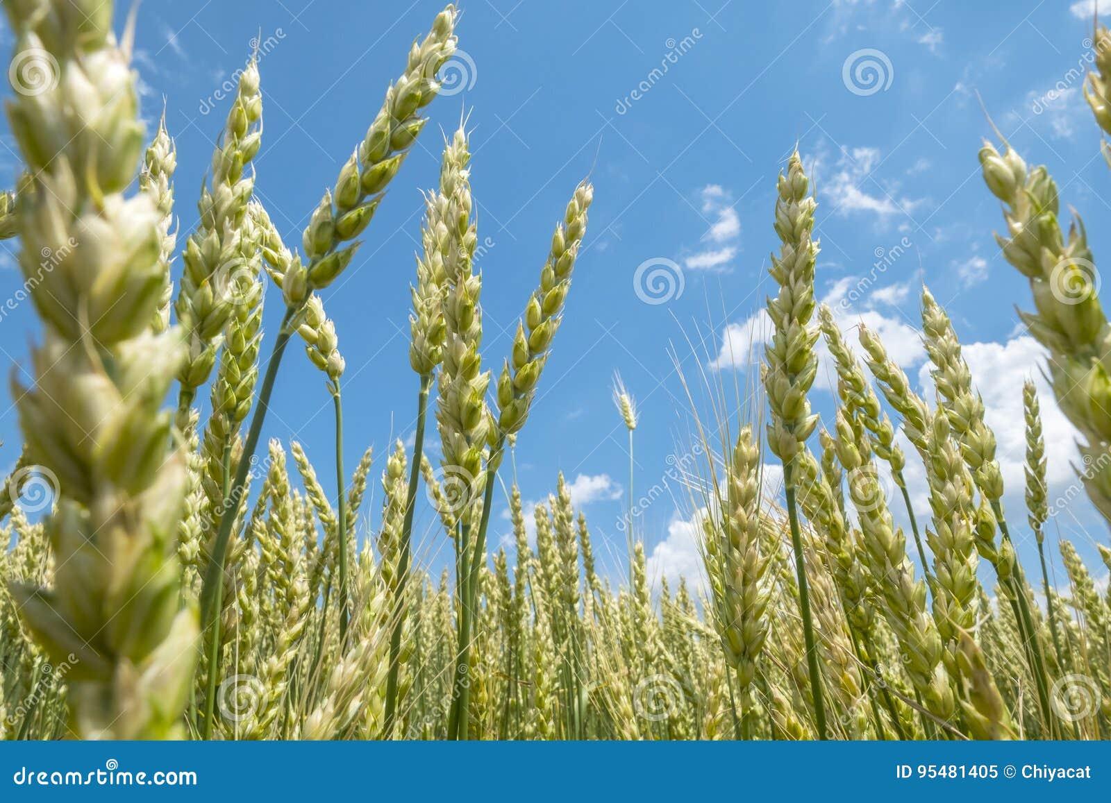 Pszeniczny pole na słonecznym dniu Z niebieskiego nieba i bielu chmurami 2