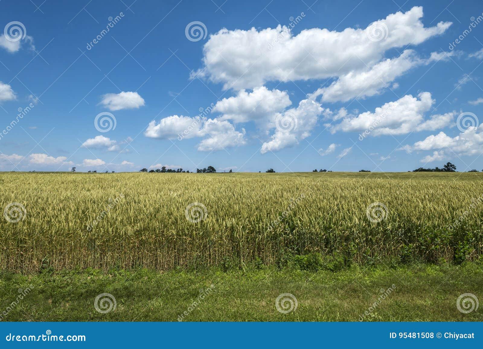 Pszeniczny pole na słonecznym dniu Z niebieskiego nieba i bielu chmurami 6
