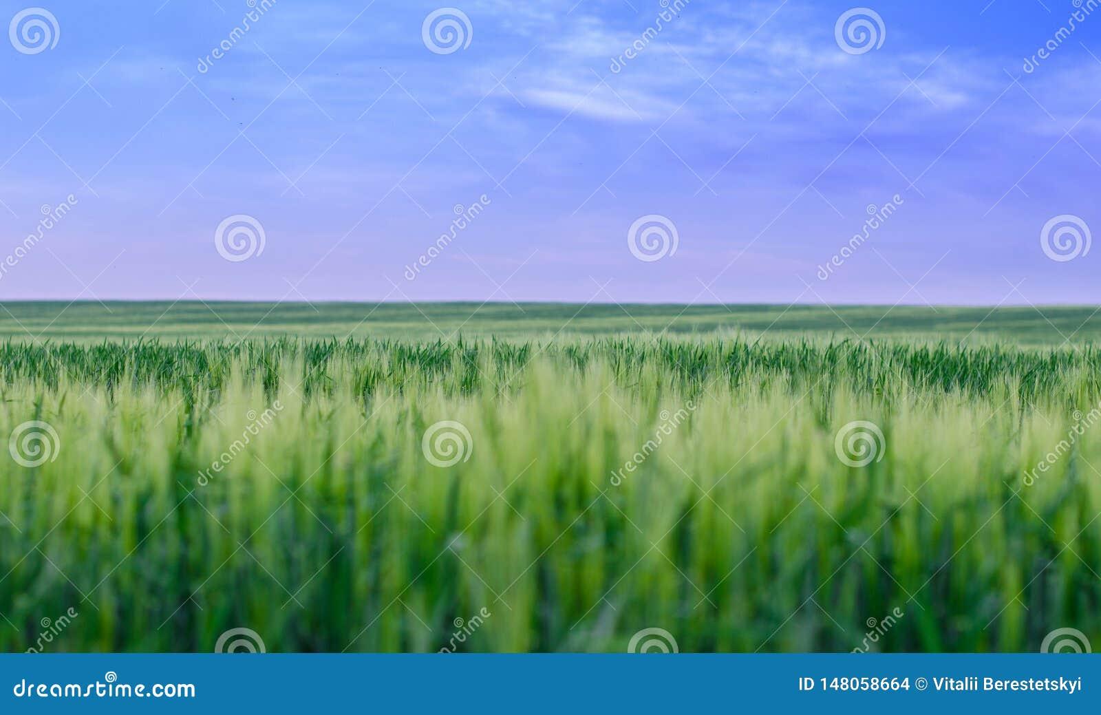 Pszeniczny pole, Ukraina
