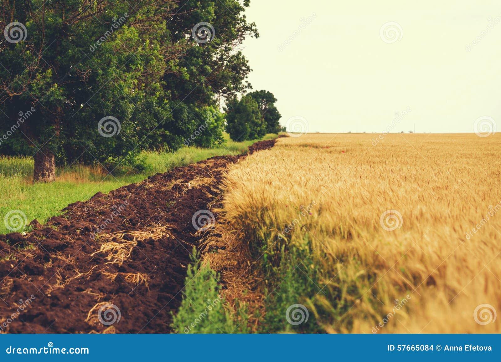 Pszeniczny pole z pazą