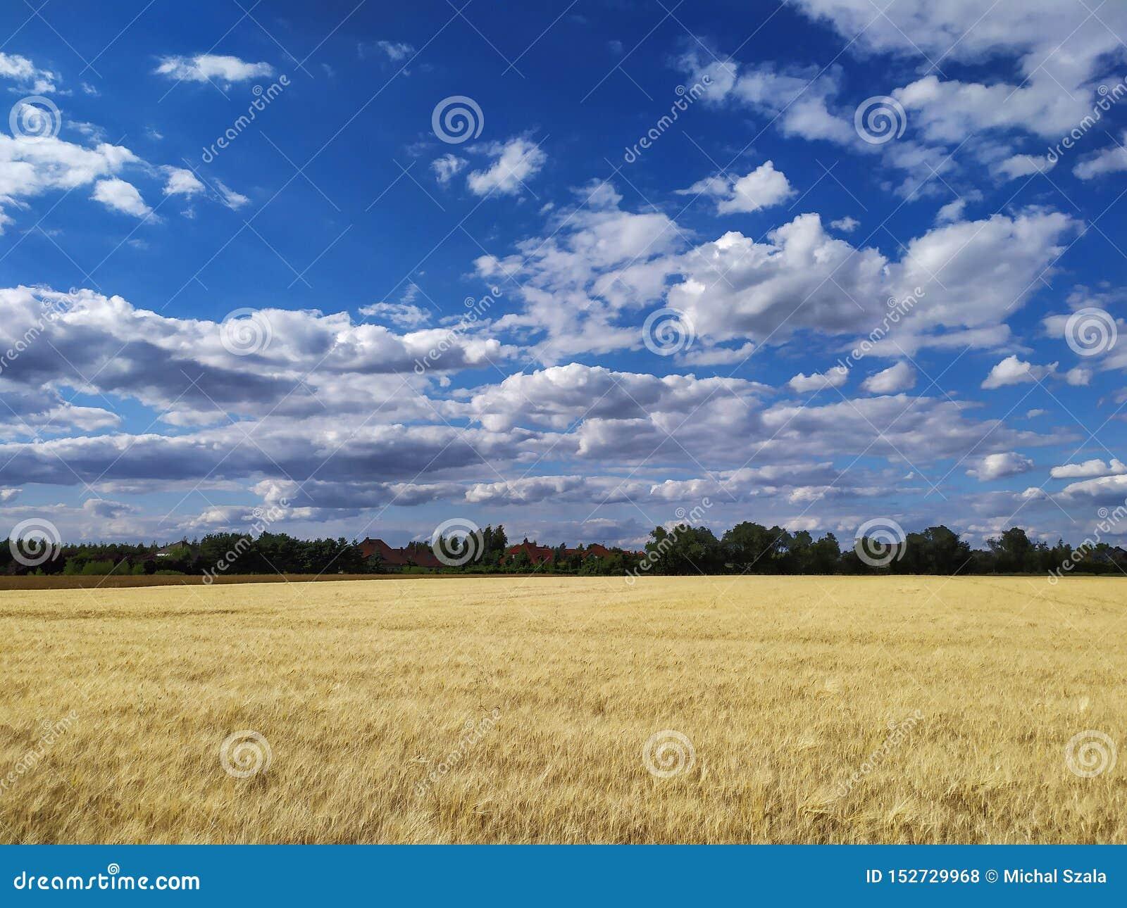 Pszeniczny pole z z pięknym, chmurnym niebem,