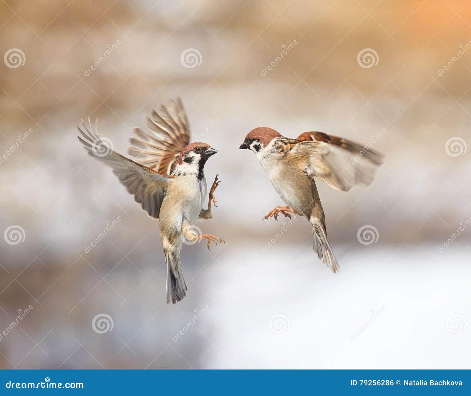 Ptaków wróble przemyka w powietrzu i dyskutuje w parku