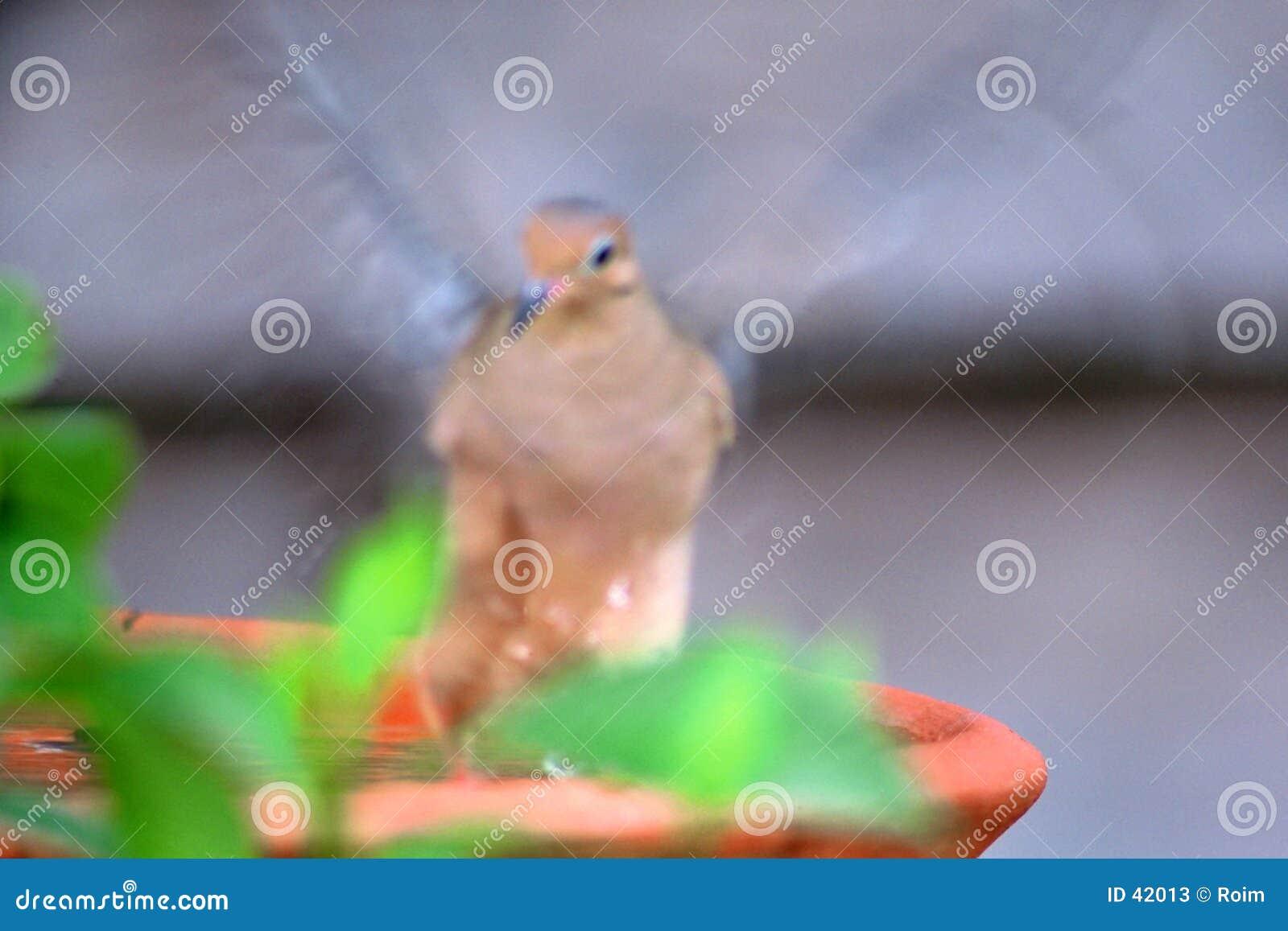 Ptak łopotanie kąpielowy.