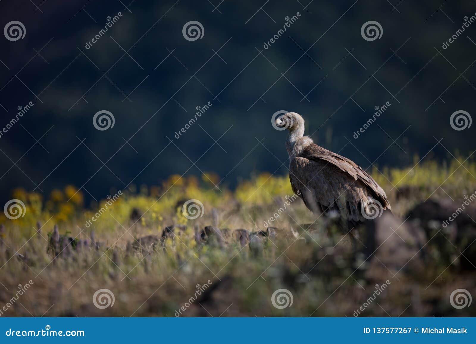 Ptak fulvus gyps zdobycz lipetsk Rosji zoo Dzika natura Bułgaria wolna od natury r Rhodopes wielki ptak Góry w Bułgaria e