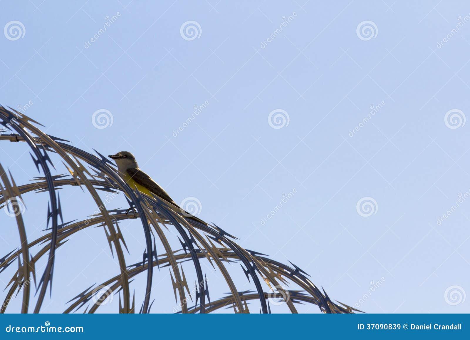 Download Ptak na drucie kolczastym obraz stock. Obraz złożonej z jenowie - 37090839
