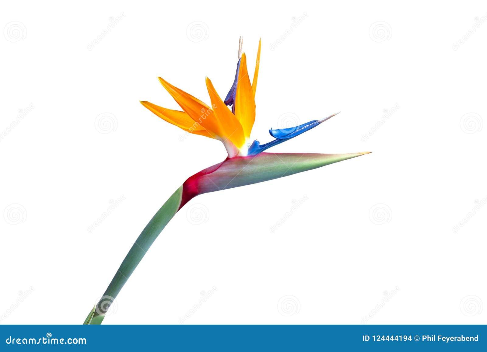 Ptak raju kwiatu zbliżenia wycinanka