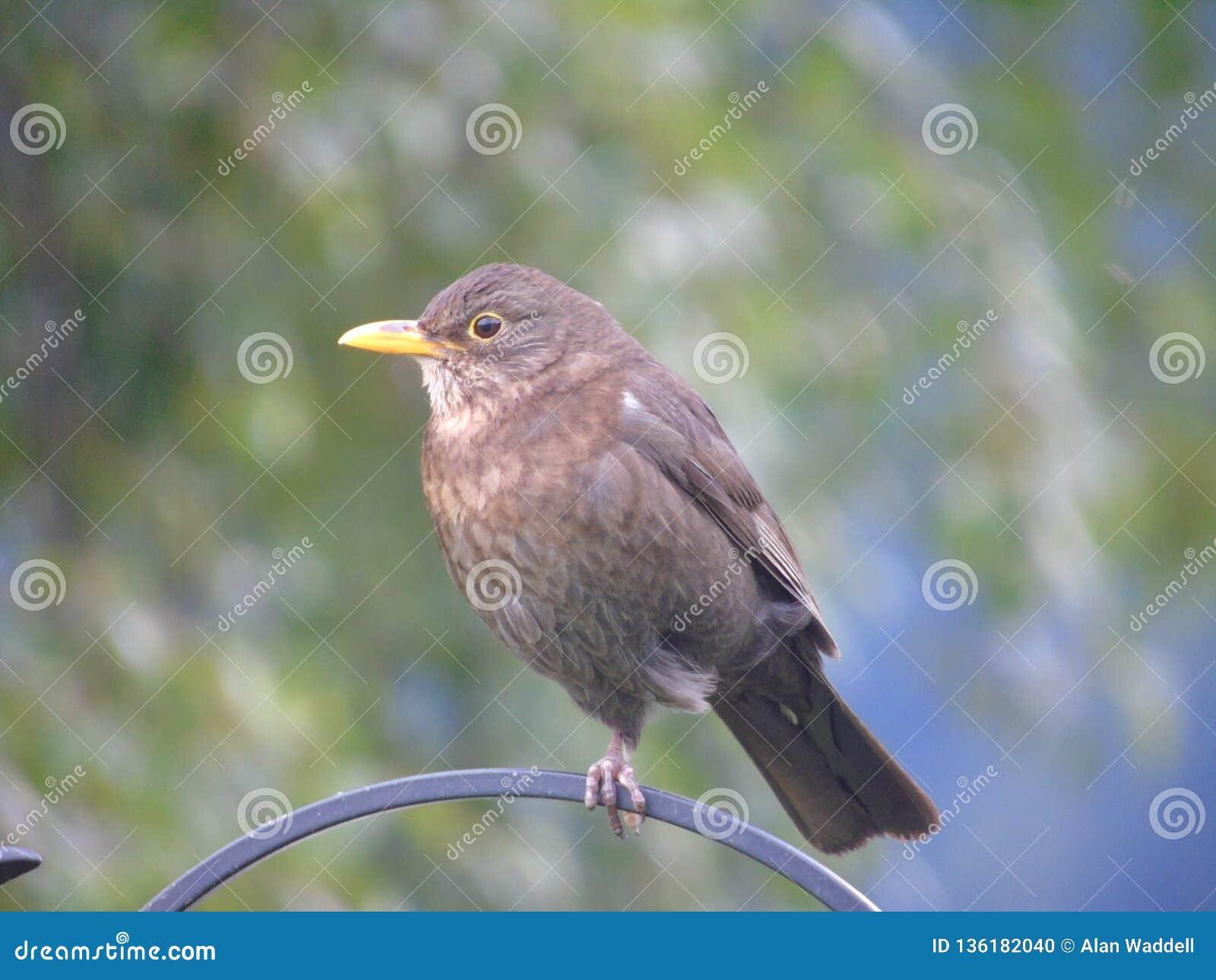 Ptaka mały płotowy