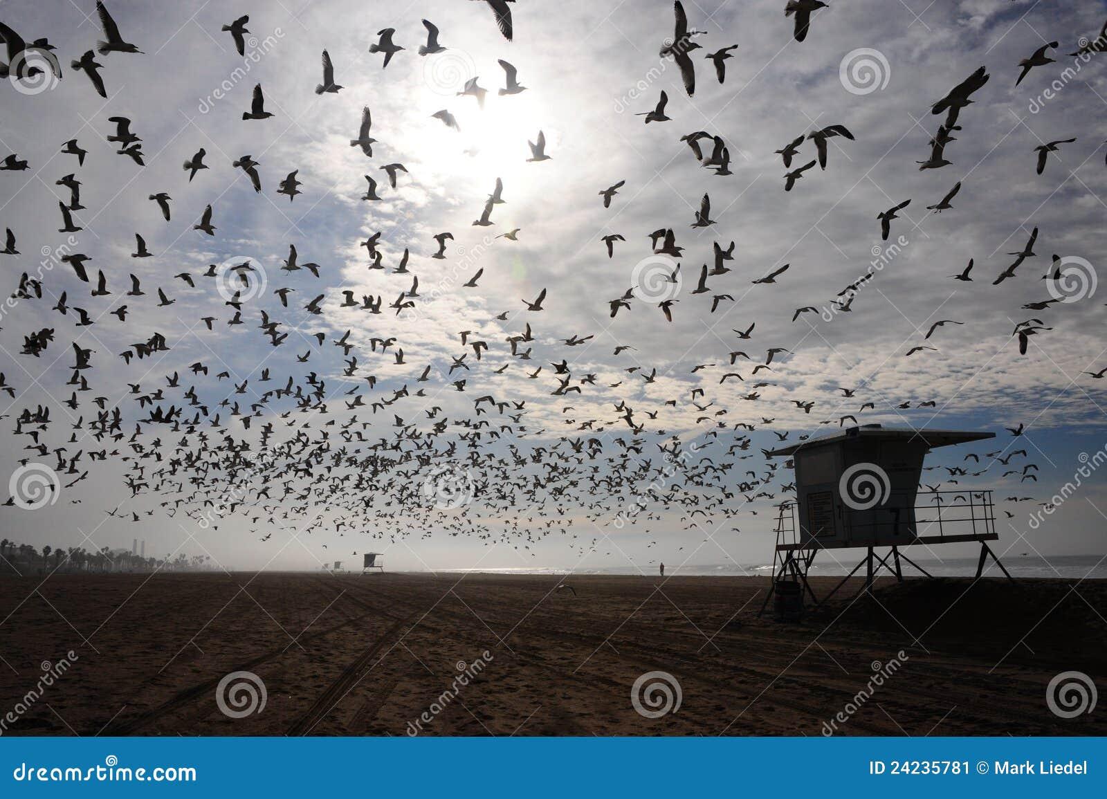 Ptaka plażowy kierdel