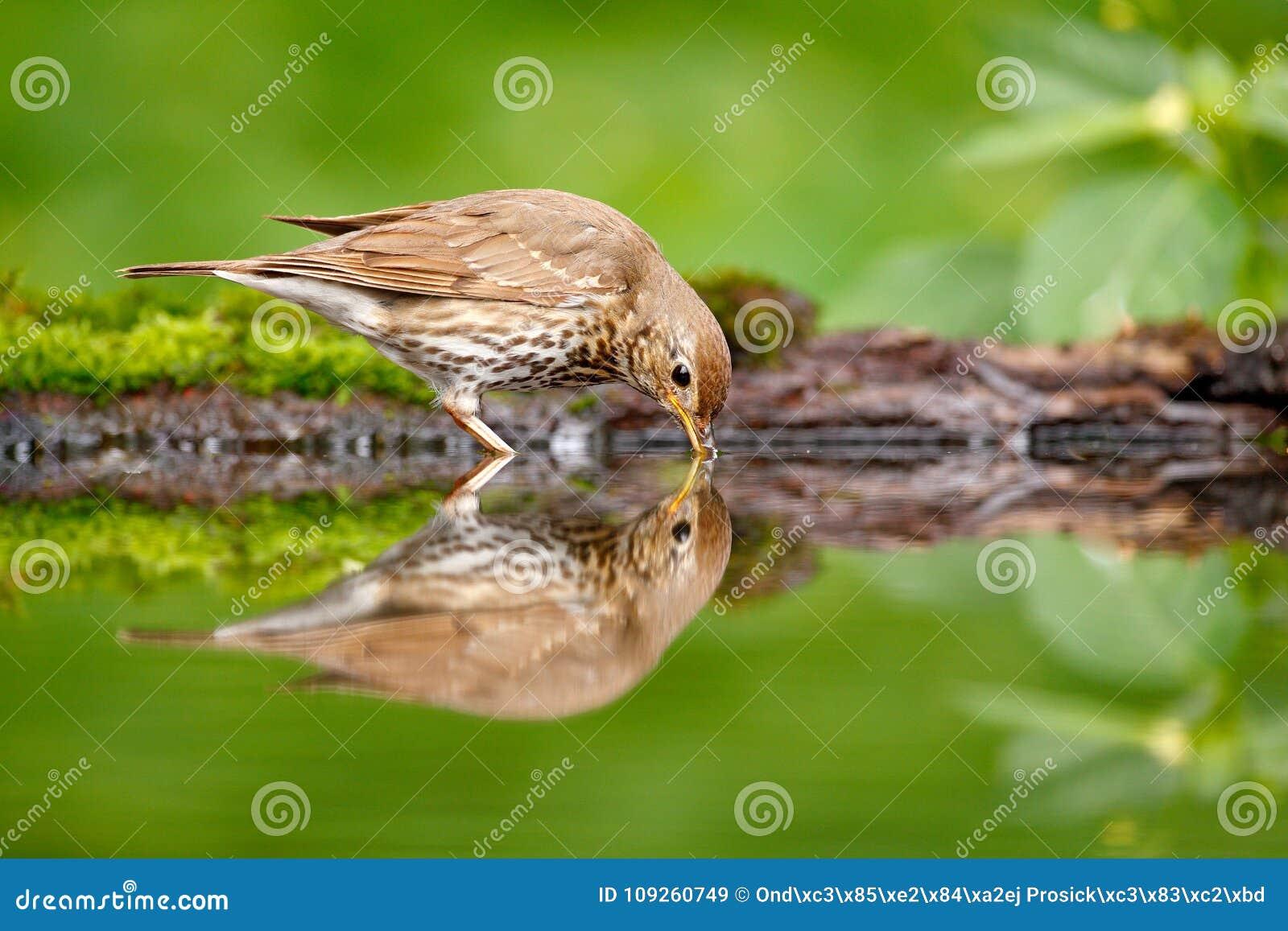 Ptaka wodny lustrzany odbicie Popielaci brown pieśniowego drozda Turdus philomelos, siedzi w wodzie, ładna liszaj gałąź, ptak w