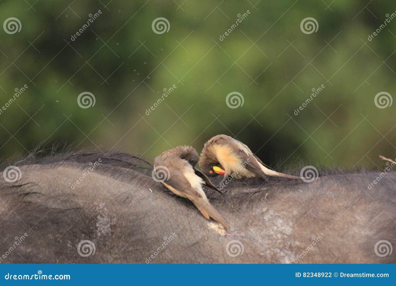 Ptaki biesiaduje na przylądka bizonie w Masai Mara