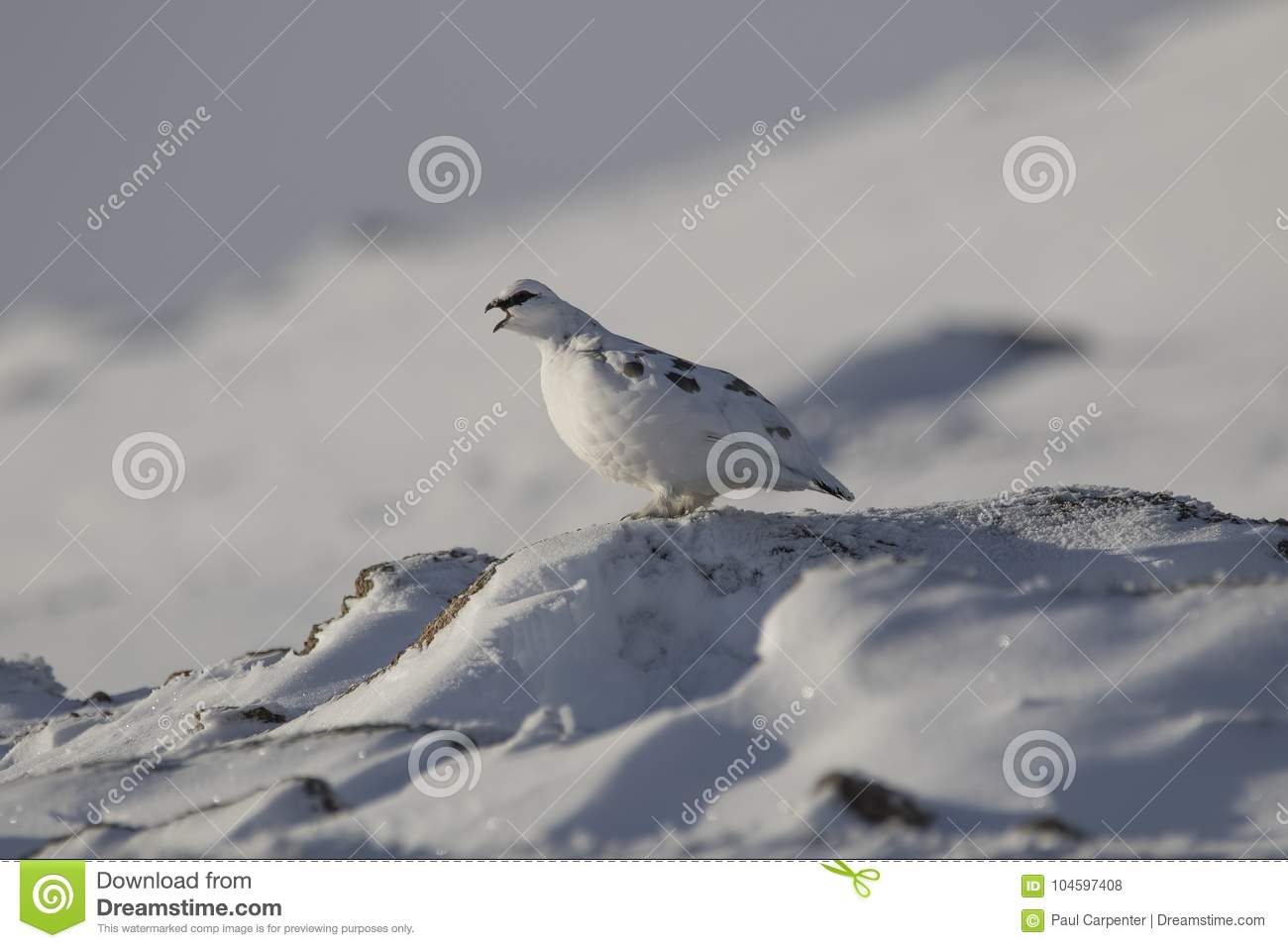 Ptarmigan, Lagopus muta, close up portrait while sitting, laying on snow during winter in winter/summer coat during autumn/wi