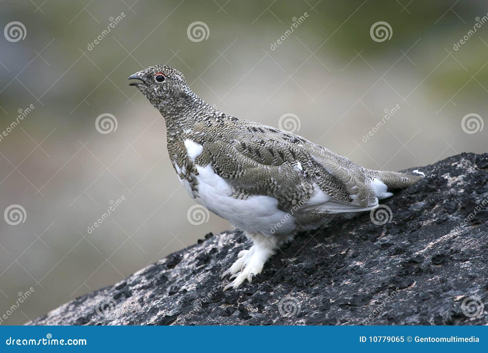 Ptarmigan (mutus Lagopus)