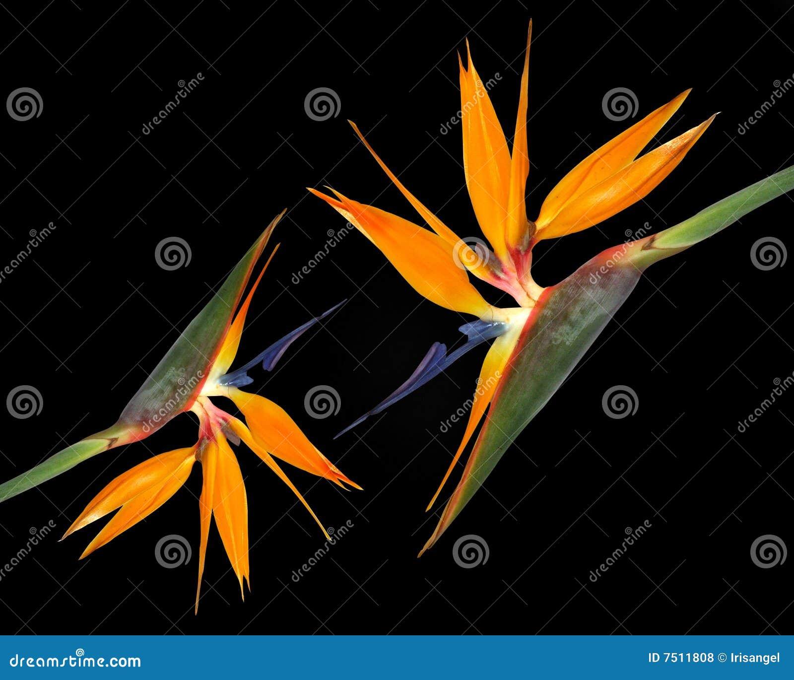 Ptasi czerń kwitnie raj tropikalnego