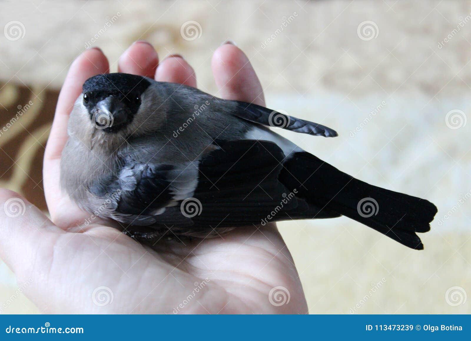 Ptasi gil na ręce