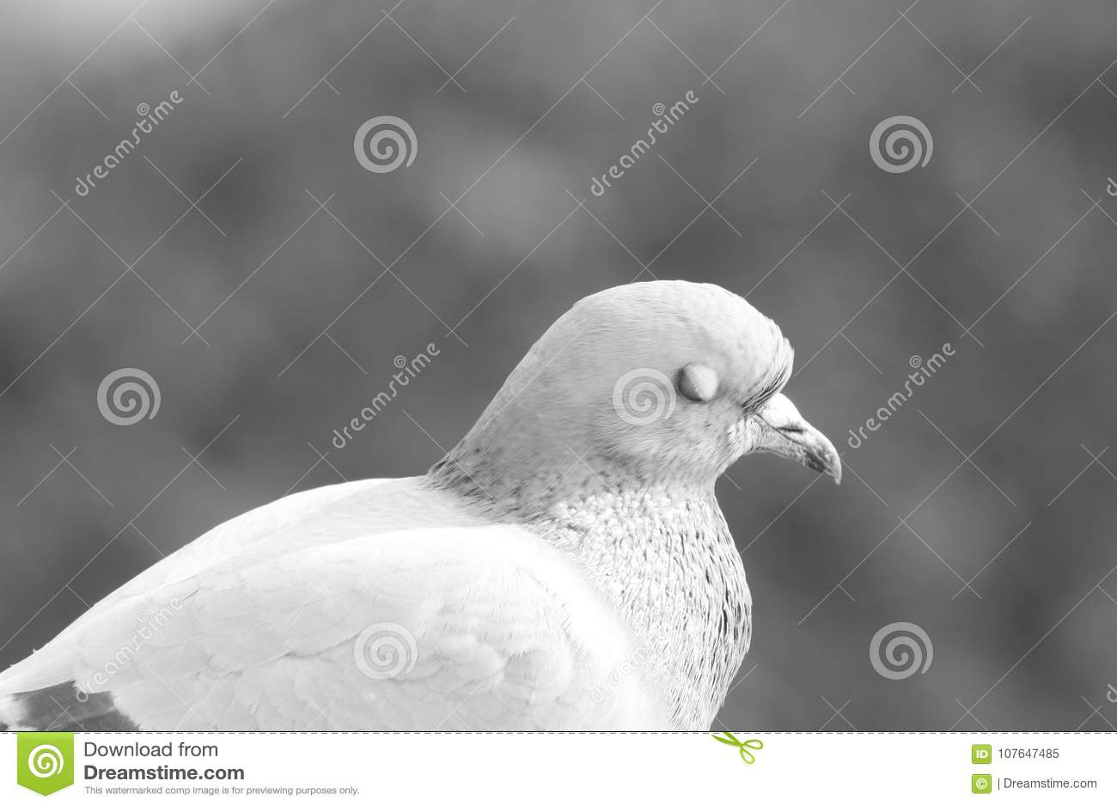 Ptasi ` s profil: Gołębi ` s oczy zamykający