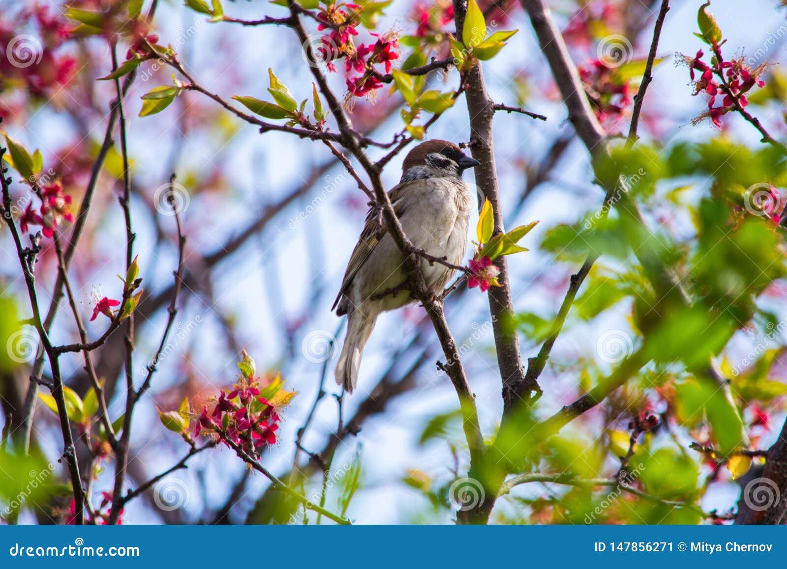Ptasi Wróbli obsiadanie na gałąź kwiatonośnego drzewa morela Ptaka Zamkni?ty Up