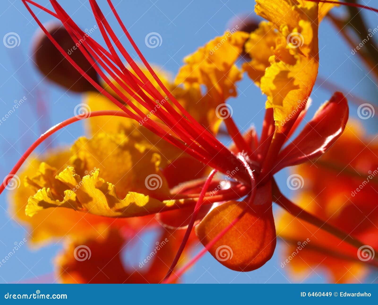 Ptasia meksykańska raj czerwony