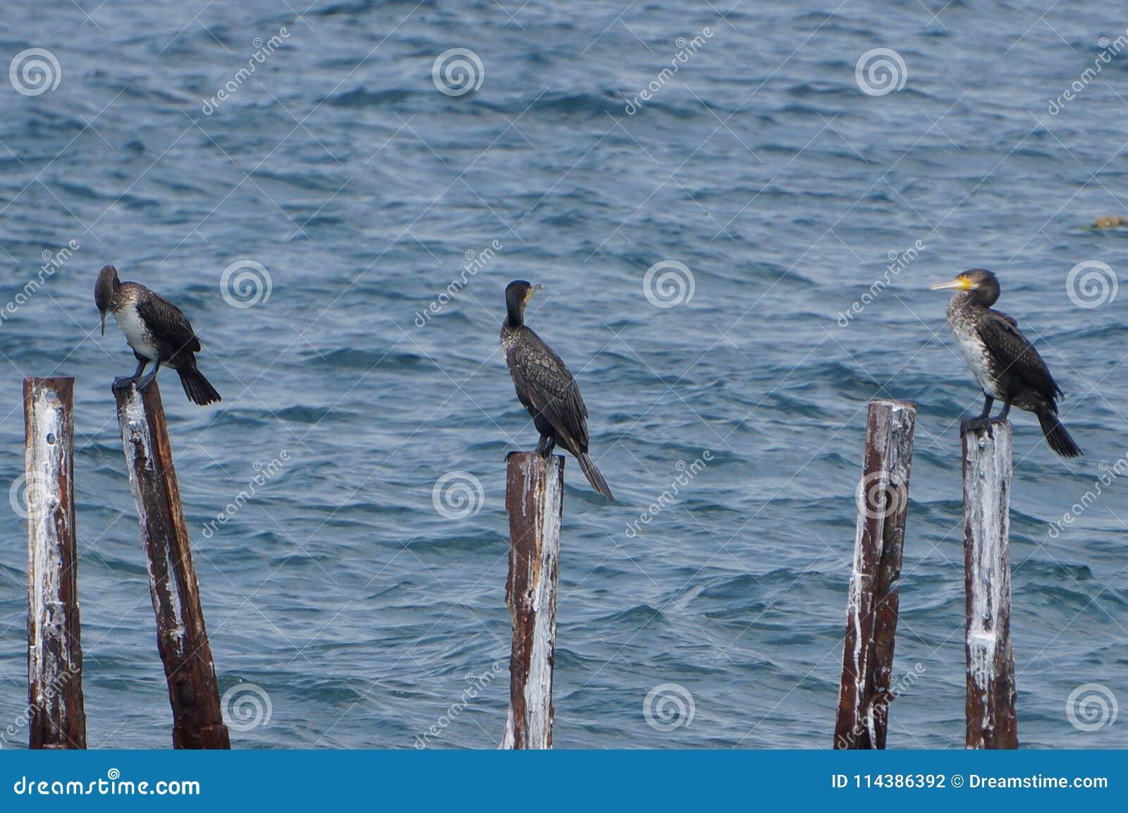 Ptasia rodzina wielcy kormorany