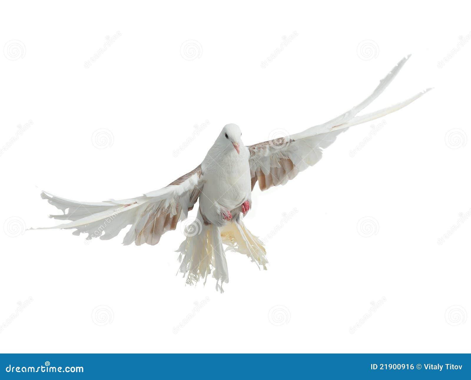 Ptasiej trakenu gołąbki latający paw