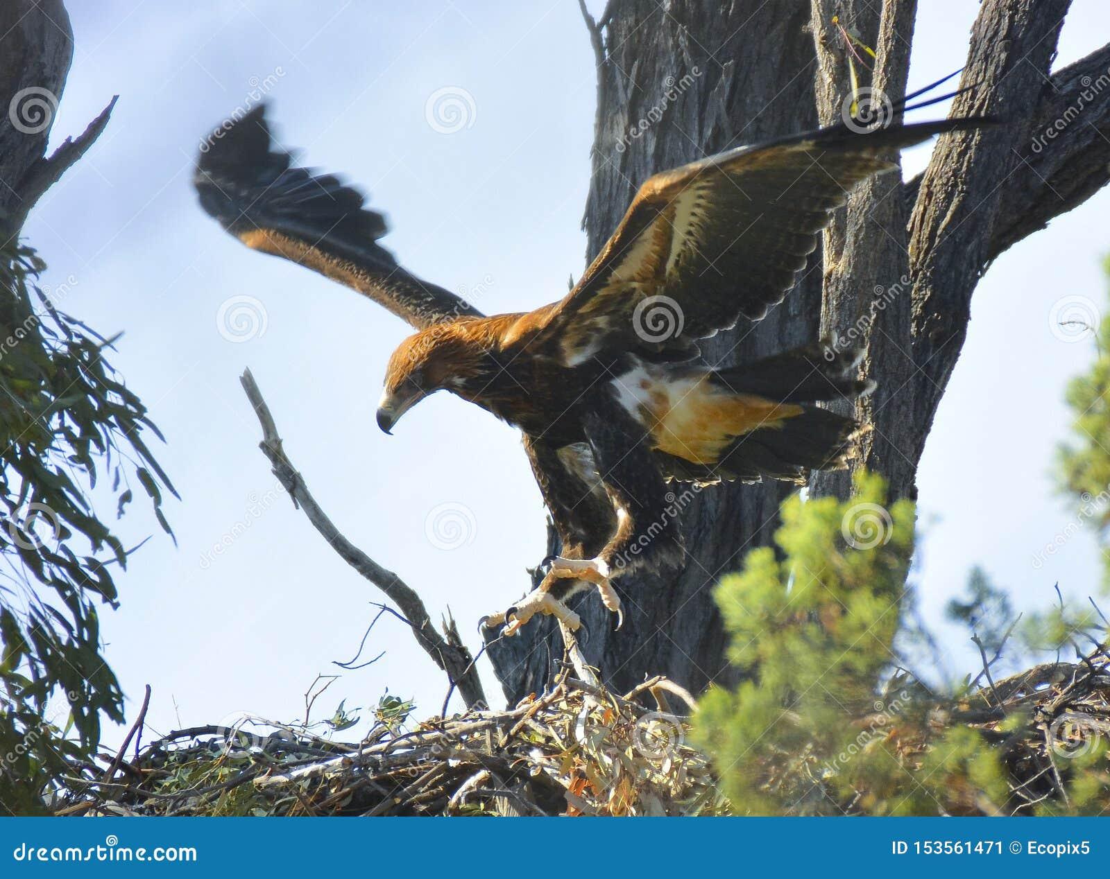 Ptaszę orła ogoniaści dźwignięcia daleko