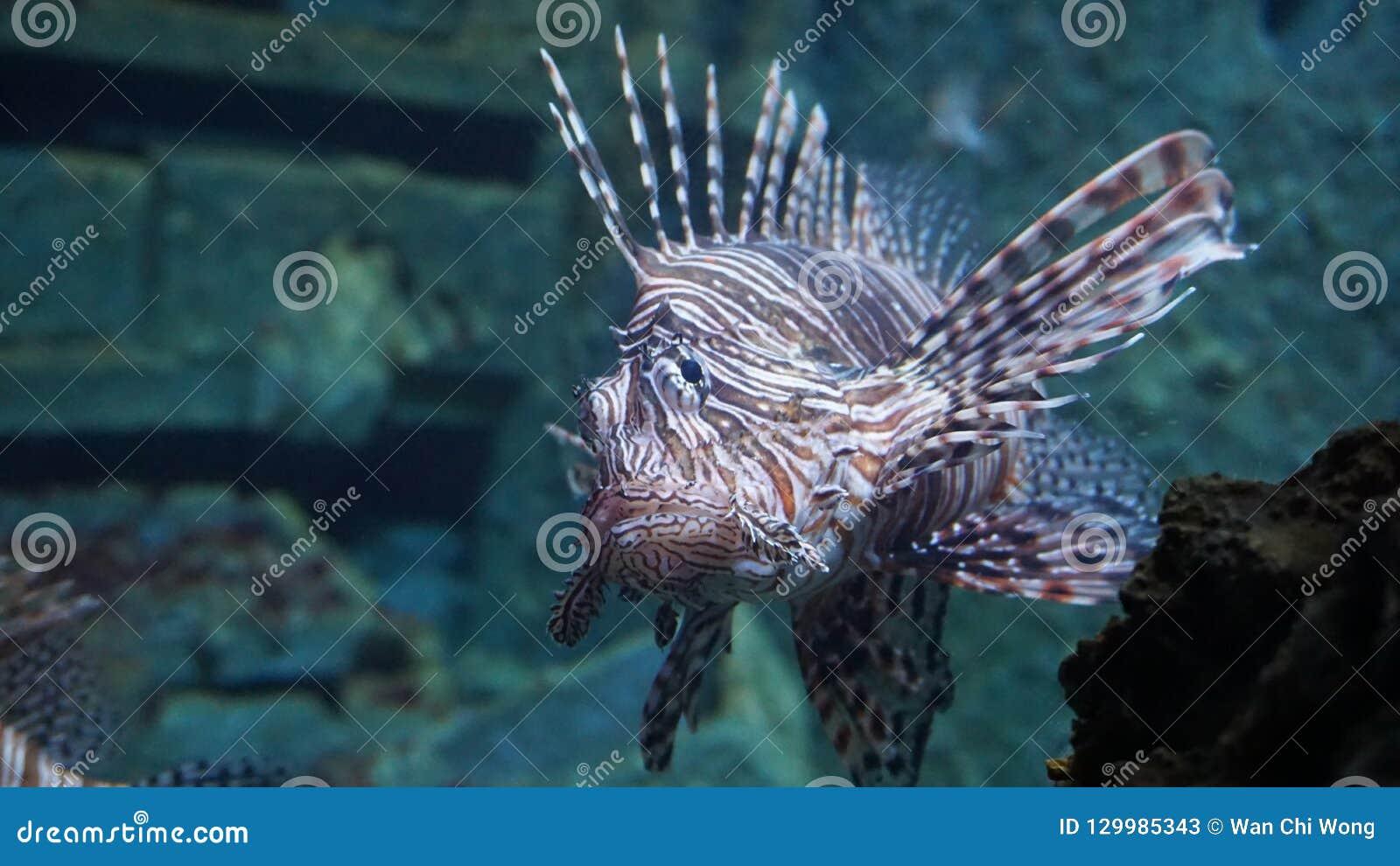 Pterois volitans Lionfish, venomous coral reef fish