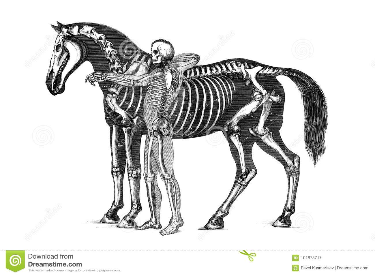 The anatomy of the horse. stock illustration. Illustration of gray ...