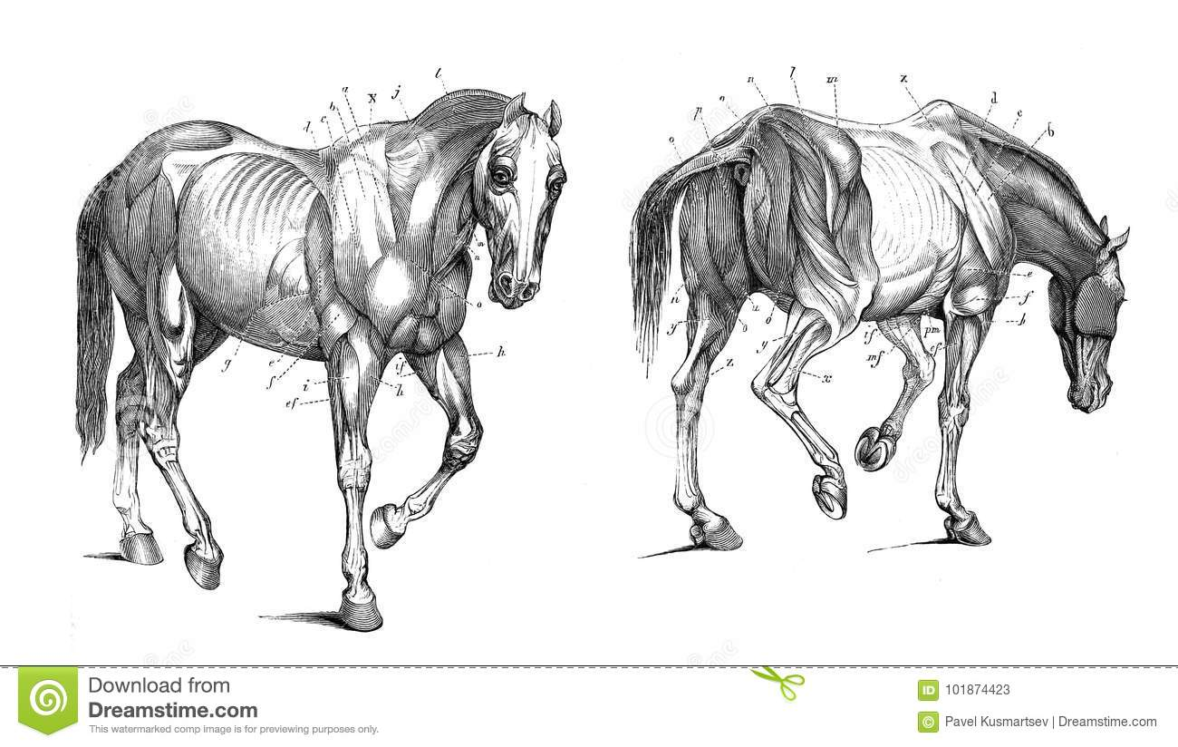 The anatomy of the horse. stock illustration. Illustration of head ...