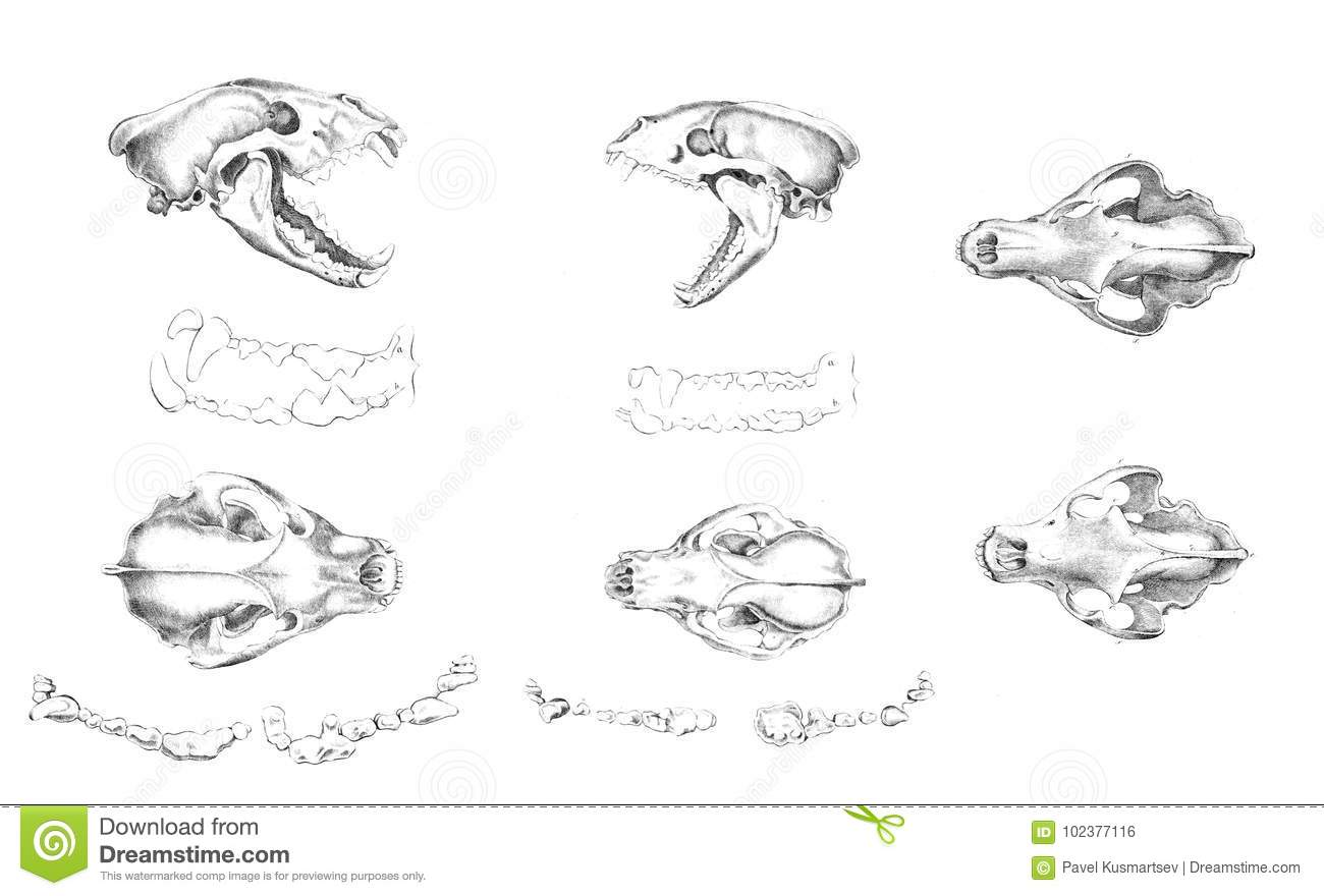 The Bones Of The Skull Of The Animal. Stock Illustration ...